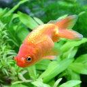 (国産金魚)花房(1匹)
