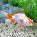 (国産金魚)更紗日本オランダ獅子頭/更紗日本オランダシシガシラ(1匹)