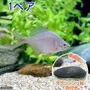 (淡水魚)タイリクバラタナゴ(1ペア)+カワシンジュ貝(1匹) 北海道航空便要保温