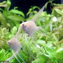 (熱帯魚)ゴールデンベールテール・エンゼルフィッシュ(国産ブリード)(1匹) 北海道・九州・沖縄航空便要保温