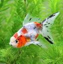 (国産金魚)鈴木系 東錦(1匹)