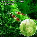 (エビ 水草)レッドビーシュリンプ(10匹) + マツモ(5本) 北海道航空便要保温