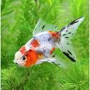 (国産金魚)鈴木系 東錦(3匹)