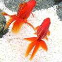 (国産金魚)飯田琉金(3匹)