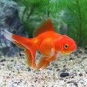 (国産金魚)オランダ獅子頭/オランダシシガシラ 飯田産(3匹)