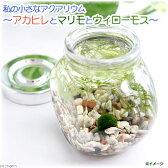 (熱帯魚 水草)私の小さなアクアリウム アカヒレボトルセット 〜マリモとウィローモス〜(1セット)説明書付 本州・四国限定