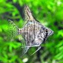 (熱帯魚)ゼブラ・エンゼルフィッシュ(国産ブリード)(3匹)  北海道・九州・沖縄航空便要保温