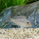 (熱帯魚)ゲオファーガスsp.レッドヘッドタパジョス Sサイズ(1匹) 北海道・九州・沖縄航空便要保温