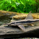 (熱帯魚)ストゥリソーマ・ニグリロストルム(1匹) 北海道・九州・沖縄航空便要保温