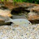 (熱帯魚)ゲオファーガスsp.ピンダレ Sサイズ(1匹) 北海道・九州・沖縄航空便要保温