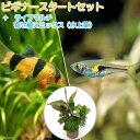 (熱帯魚 水草)ビギナースタートセット ラスボラ・ヘンゲリー(6匹) +クラウンローチ(2匹) 北海道・九州・沖縄航空便要保温
