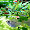 (熱帯魚)カージナルテトラ(ワイルド)(10匹) + バルーン・プリステラ(3匹)