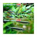(熱帯魚)カージナルテトラ(ワイルド)(10匹) + ブラック・ネオン(10匹) 北海道・九州・沖縄航空便要保温