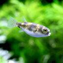 (熱帯魚)南米淡水フグ Sサイズ(3匹) 北海道・九州航空便要保温