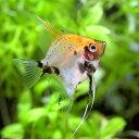 (熱帯魚)レッドデビル・エンゼルフィッシュ(ヨーロッパブリード)(1匹) 北海道・九州・沖縄航空便要保温