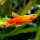 (熱帯魚)アフィオセミオン・オーストラレ ソリッドオレンジ(3ペア) 北海道・九州・沖縄航空便要保温