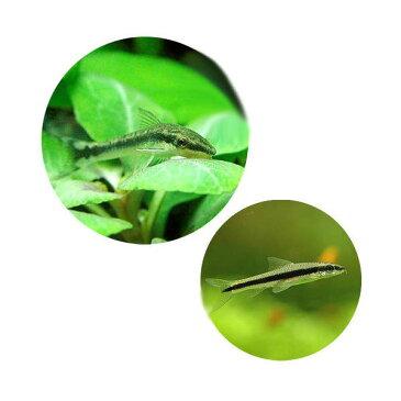 (熱帯魚)コケ対策セット 黒ヒゲゴケ&茶ゴケ対策用 オトシンクルス(6匹)+サイアミーズフライングフォックス(4匹) 北海道・九州・沖縄航空便要保温