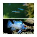 (熱帯魚)グリーンネオンテトラ(10匹) + ブルーダイヤモンド・ラミレジィ(3匹)
