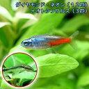 (熱帯魚)ダイヤモンド・ネオンテトラ(12匹) + オトシンクルス(3匹) 北海道・九州・沖縄航空便要保温