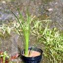 (ビオトープ/水辺植物)セキショウ(アコルス)(1ポット)