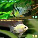 (熱帯魚)バルーン・ラミレジィ+ゴールデンバルーン・ラミレジィ(各種3匹) 北海道・九州・沖縄航空便要保温