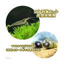(エビ・貝)ヤマトヌマエビ(20匹) +(B品)カラーサザエ石巻貝(5匹)