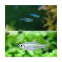 (熱帯魚)グリーンネオンテトラ(10匹)+コンゴテトラ(5匹) 北海道・九州・沖縄航空便要保温