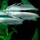 (熱帯魚)シルバーアロワナ Mサイズ(1匹) 北海道・九州・沖縄航空便要保温