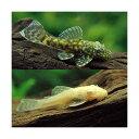 (熱帯魚)ミニミニブッシーセット(ミニブッシープレコ3匹+アルビノミニブッシー3匹)(計6匹) 北海道・九州・沖縄航空便要保温