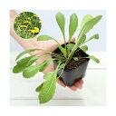 (観葉植物)ペットリーフ セイヨウタンポポの苗 3