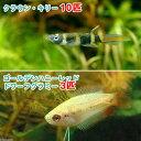 (熱帯魚)ゴールデンハニーレッド・ドワーフグラミー(3匹)+クラウン・キリー(10匹) 北海道・九州・沖縄航空便要保温