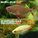 (熱帯魚)ゴールデンハニーレッド・ドワーフグラミー(3匹)+ロージー・テトラ(6匹) 北海道・九州・沖縄航空便要保温