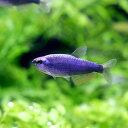 (熱帯魚)スーパーブルー・インパイクティス・ケリー オス(3匹) 北海道・九州・沖縄航空便要保温