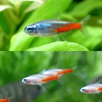 (熱帯魚)ダイヤモンド・ネオンテトラ2種セット(各種2匹)