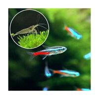 (熱帯魚)ネオンテトラ(10匹) +ヤマトヌマエビ(3匹)