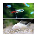 (熱帯魚)ネオンテトラ(10匹) +コリドラス・アエネウスアルビノ(1匹) 北海道・九州・沖縄航空便要保温
