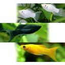 (熱帯魚)ライヤーテール3種セット ブラック+シルバー+オレンジ(各種2匹) 北海道航空便要保温
