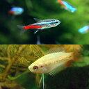 (熱帯魚)ネオンテトラ(10匹) +ゴールデンハニーレッド・ドワーフグラミー(2匹) 北海道・九州航空便要保温