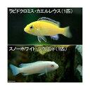 (熱帯魚)ラビドクロミス・カエルレウス(1匹) + スノーホワイト・シクリッド(1匹) 北海道・九州・沖縄航空便要保温