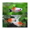 (熱帯魚)ハイフィンレッドバック・ミッキーマウスプラティ(2...