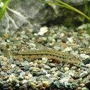 (淡水魚)ヤマトシマドジョウ(5匹) どじょう