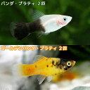 (熱帯魚)パンダ・プラティ(2匹)+ゴールデンパンダ・プラティ(2匹) 北海道・九州・沖縄航空便要保温