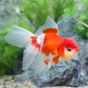 (国産金魚)飯田オランダ獅子頭 更紗 3歳 8〜11cm(1匹)
