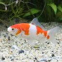 (国産金魚)更紗和金(サラサワキン)フナ尾(3匹)