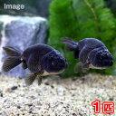 (国産金魚)黒らんちゅう(クロランチュウ)(1匹)