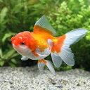 (国産金魚)日本花房/オランダシシガシラ(1匹)