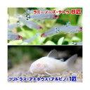 (熱帯魚)ラミーノーズ・テトラ(ブリード)(6匹) + コリ...