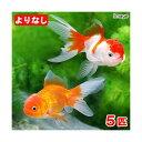 (国産金魚)よりなし(無選別) オランダ獅子頭/オランダシシガシラ 素赤〜更紗(5匹)