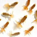 (国産金魚)土佐錦魚 素赤〜更紗 2.5〜4cm(1匹)
