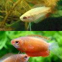 (熱帯魚)ゴールデンハニーレッド・ドワーフグラミー(3匹) + レッド・グラミー(3匹) 北海道・九州航空便要保温